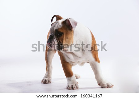 French bulldog posing - stock photo