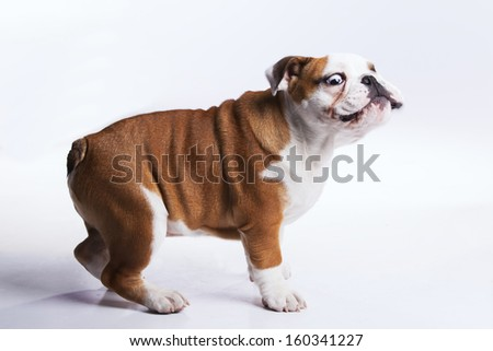 French bulldog posing with a funny face - stock photo