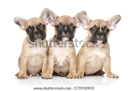 French bulldog puppies posing on white background - stock photo
