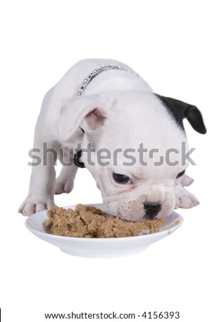 French bulldog puppy eating canned food from plate - stock photo