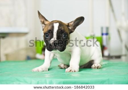 French bulldog puppy in animal hospital - stock photo