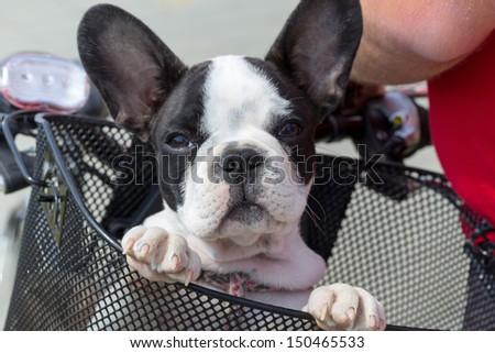 French bulldog puppy in the bike basket - stock photo