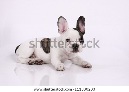 French bulldog puppy, 3 months old, lies on a white background - stock photo