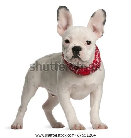 French bulldog puppy, 4 months old, standing in front of white background - stock photo