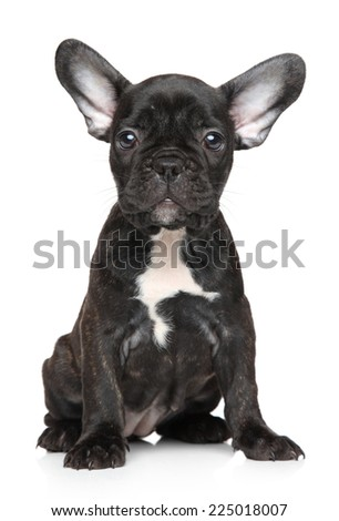 French bulldog puppy on white background - stock photo