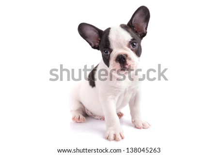 French bulldog puppy portrait over white background - stock photo