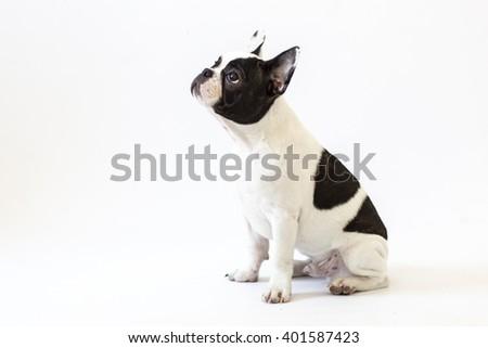 French bulldog puppy portrait over white background.French bulldog - stock photo