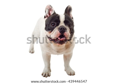 French Bulldog puppy posing isolated over a white background - stock photo