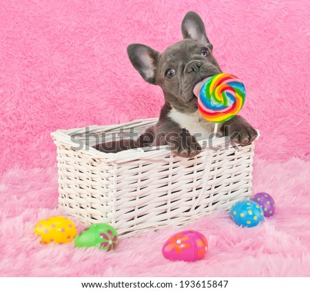 French bulldog puppy sitting in a basket licking a lollipop with Easter eggs around him. - stock photo
