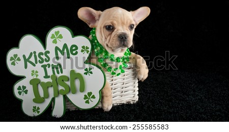 French Bulldog puppy sitting in a basket wearing shamrock necklaces with a 'kiss me I'm Irish' sign beside her. - stock photo