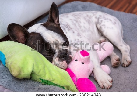 French bulldog puppy sleeping on the pillow with toy - stock photo