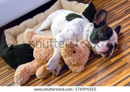 French bulldog puppy sleeping with teddy bear - stock photo