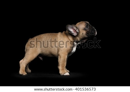 French Bulldog Puppy Standing and Looking forward, Side view,  Isolated on black background - stock photo