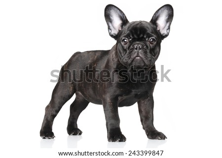 French bulldog puppy standing, portrait on a white background - stock photo