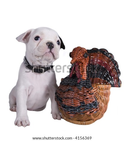 French bulldog puppy with wicker thanksgiving turket - stock photo