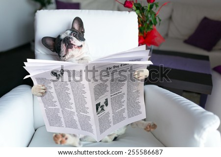 French bulldog reading newspaper on the armchair - stock photo