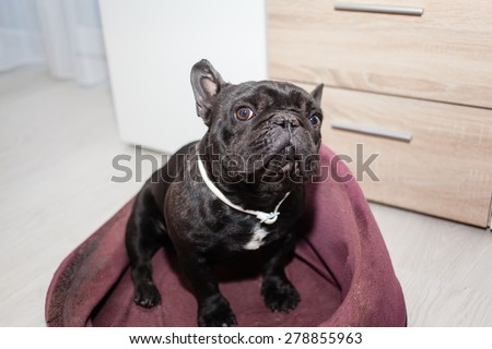 french bulldog sitting in bed - stock photo