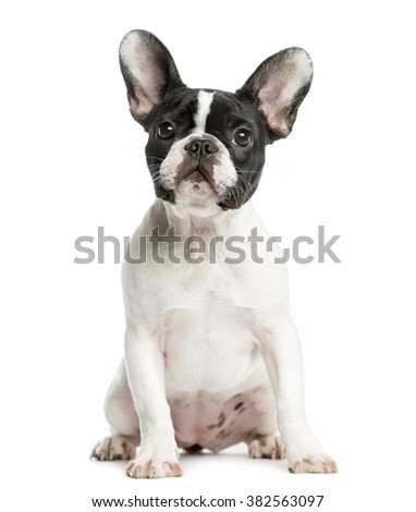 French Bulldog sitting in front of a white background - stock photo