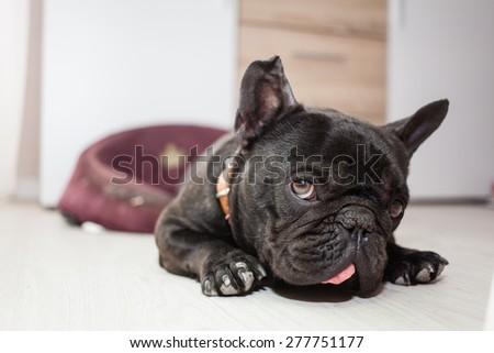 french bulldog sleeping in bed - stock photo