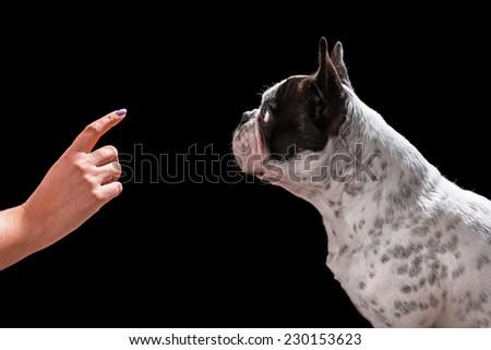 French bulldog waiting for command isolated on black background - stock photo