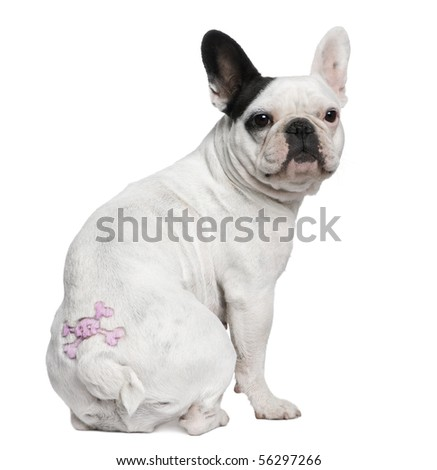 French Bulldog with tattoo sitting in front of white background - stock photo