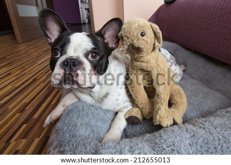 French bulldog with teddy bear - stock photo