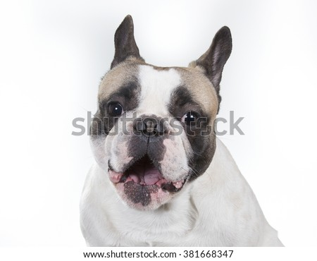French bulldog yawning. A closeup shot of a french bulldog's face. Image taken in a studio. - stock photo