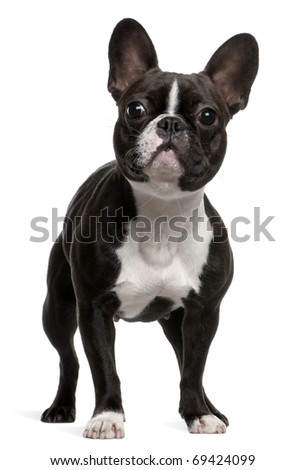 French Bulldog, 1 year old, standing in front of white background - stock photo