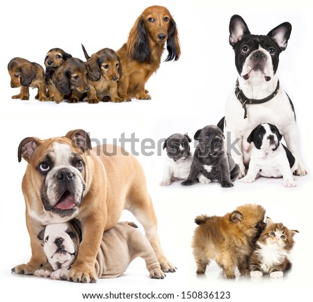 French bulldogs, puppy and dog mom  - stock photo