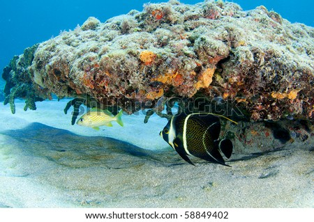 French Grunt and French Angelfish sharing the a coral overhang, picture taken in Broward County Florida - stock photo