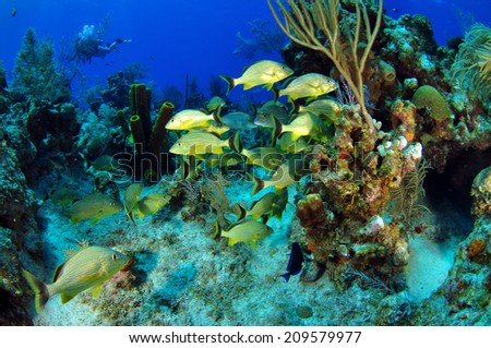 French Grunts on the reef, Grand Cayman - stock photo