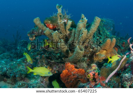 French Grunts swimming around an unusual formation of tube and other sponges on a reef in Palm Beach County, Florida. - stock photo
