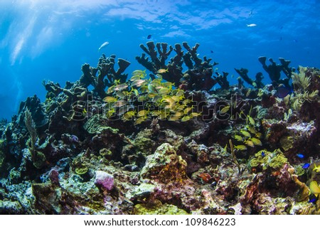 French grunts swimming beneath elk horn coral - stock photo