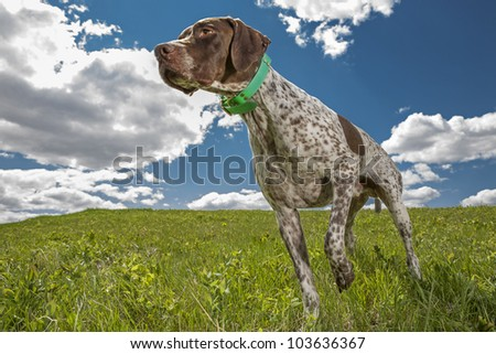 French hunting dog working in field with cloudy sky in the background - stock photo
