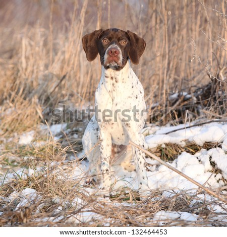 French Pointing Dog looking at you - stock photo