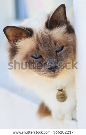 French-Siamese Cat - stock photo