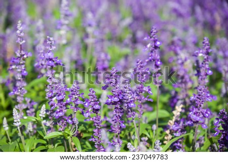 Fresh and beautiful lavender flowers field for nature background - stock photo