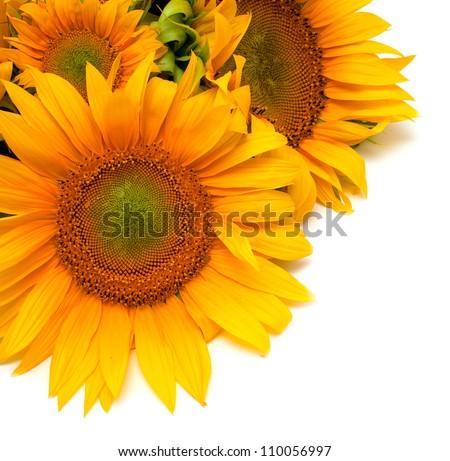 fresh and beautiful sunflowers - stock photo