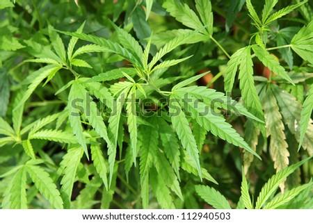 Fresh and Green Cannabis plants / Marijuana plant, grow for fiber - stock photo
