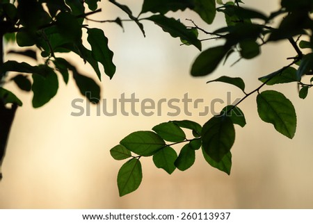Fresh and green leaves of bonsai sagerettia - stock photo