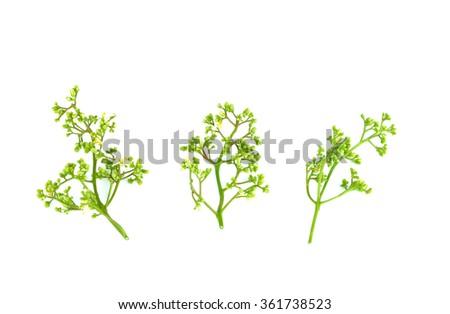 Fresh and green Neem plant (Azadirachta indica). - stock photo