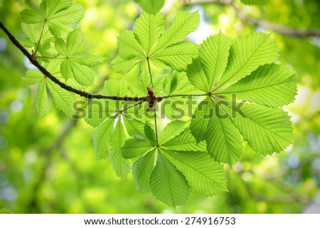 Fresh and new green chestnut leaves in spring - stock photo