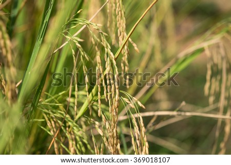 Fresh and ripe rice stalk for plantation background with selective focused point  - stock photo
