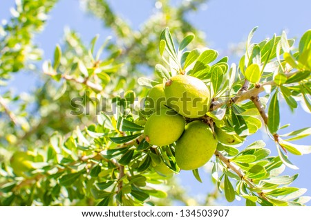 Fresh argan fruits on a branch - stock photo