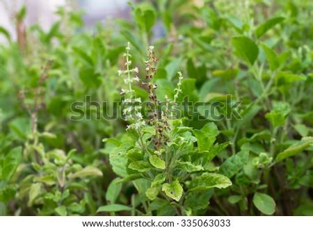 Fresh basil flower plant in the garden - stock photo