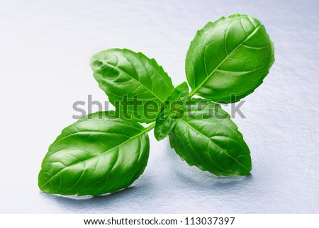 Fresh basil sprig close up on silver-grey background - stock photo