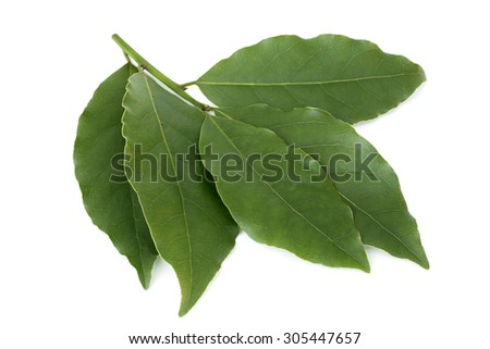 Fresh bay leaves on white background - stock photo