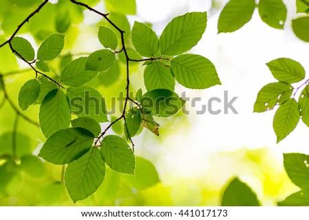 Fresh beech leaves under bright sunlight, shallow depth of field - stock photo