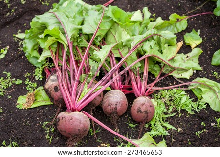 Fresh beetroot with leaves in the garden - stock photo