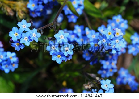fresh blue forget-me-not flower in the garden and spring from the top - stock photo